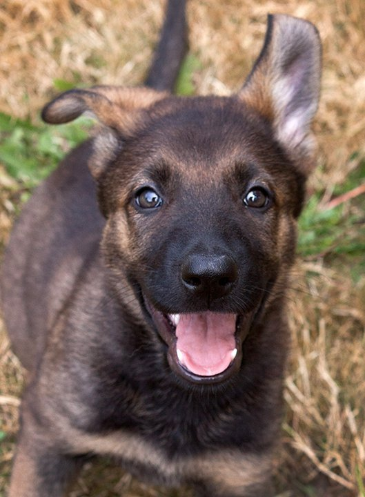 German Shepherd Puppies For Sale That Super Girl