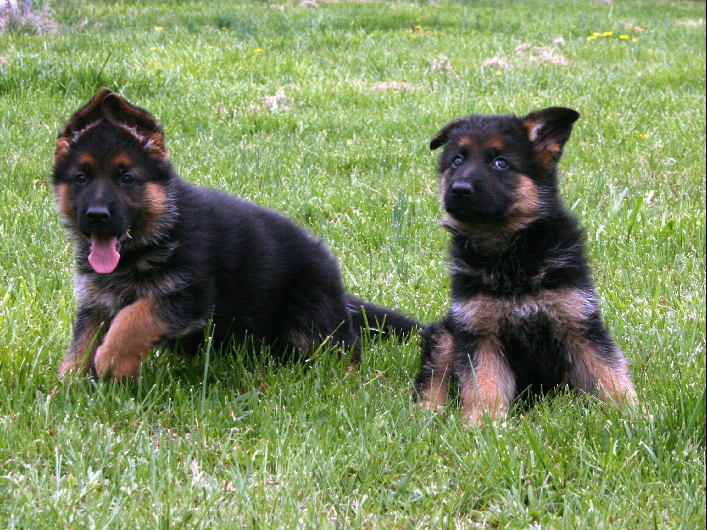 Www Dogs For Sale In Sri Lanka